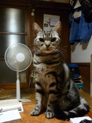扇風機は猫越しの風