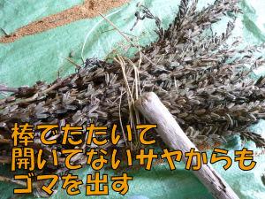 ゴマの収穫3