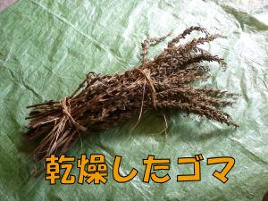 ゴマの収穫1