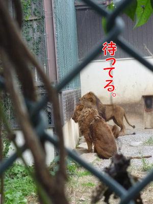餌待ちライオン