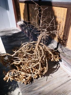 乾燥させた黒豆の木