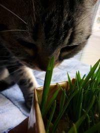 しまと猫草