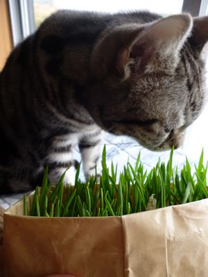 猫草、食べる?