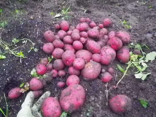 2011秋ジャガの収穫