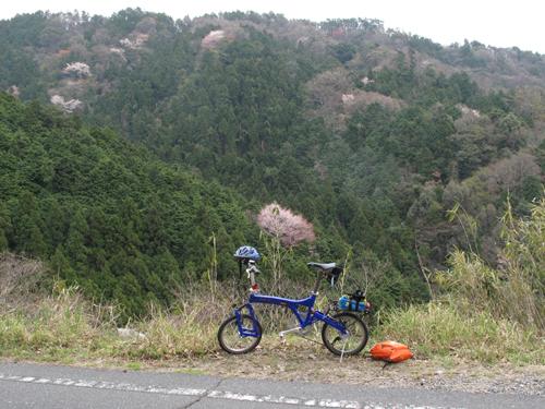極楽寺山山桜