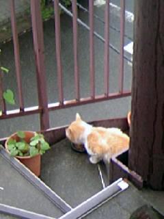 お向かいのネコ1