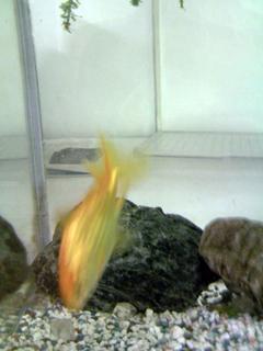 スタジオの金魚。