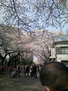 くろのはらぐろ-桜_1