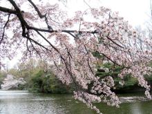 くろのはらぐろ-桜_6