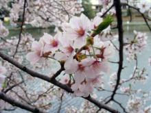 くろのはらぐろ-桜_2