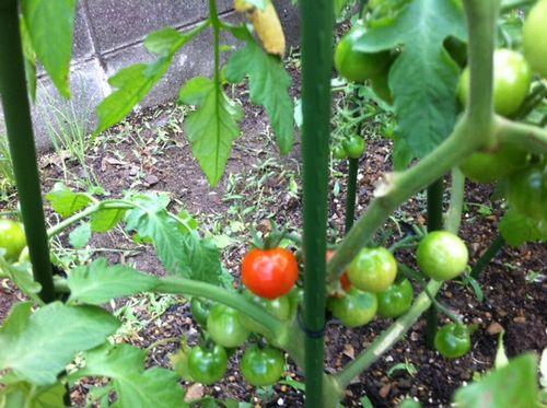 赤トマト02
