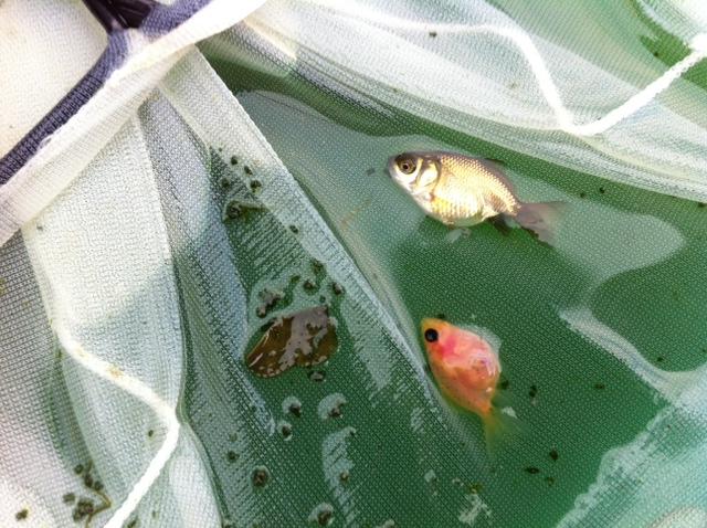 流金稚魚002