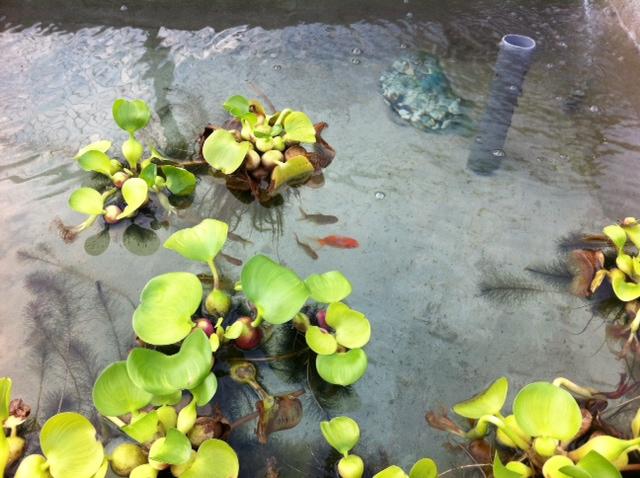 たたき稚魚