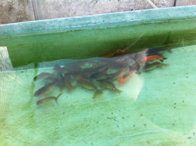 稚魚333
