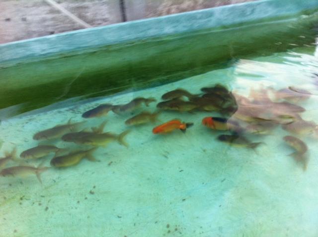 稚魚222