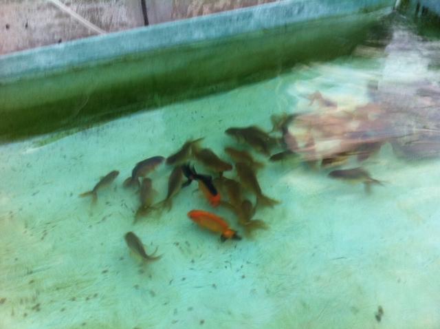 稚魚111
