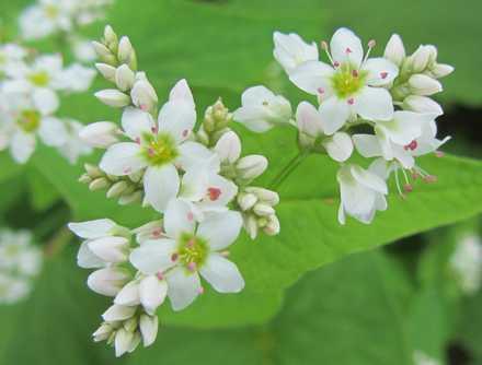 そばの花 1