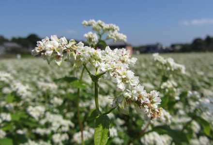 ソバの花 2