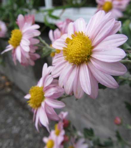 キクの花1