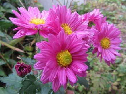 キクの花2