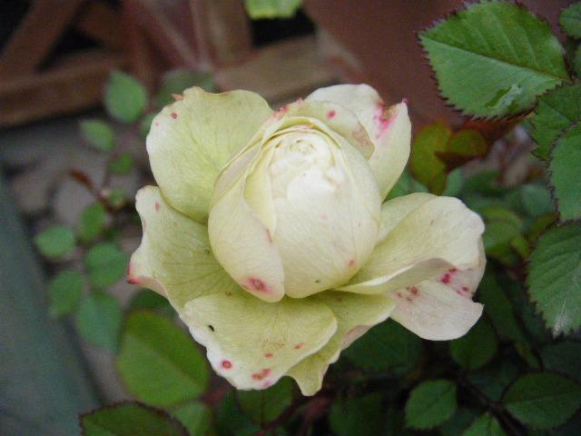 最初に開花したのは無名のミニバラでした。
