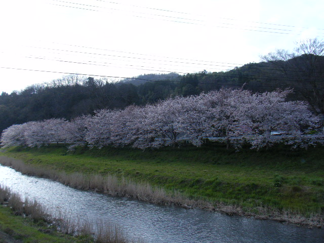 長谷の桜街道