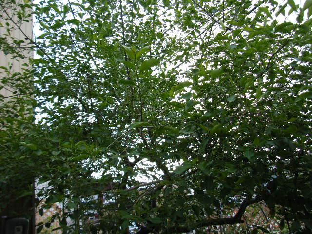 まゆみの木
