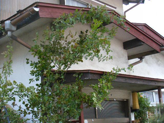 屋根にバラを上げました。