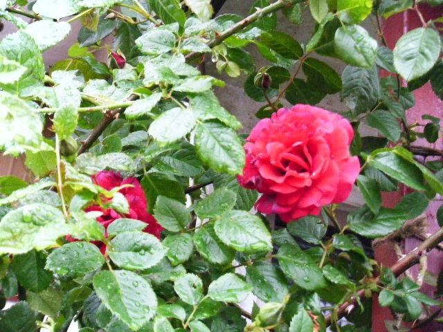 母のつるバラ