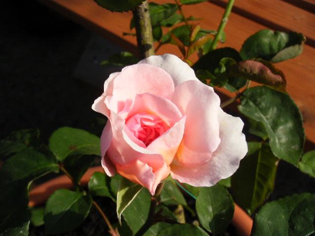 不明のバラ
