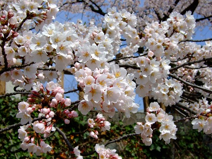 Cherryblossoms2012_001