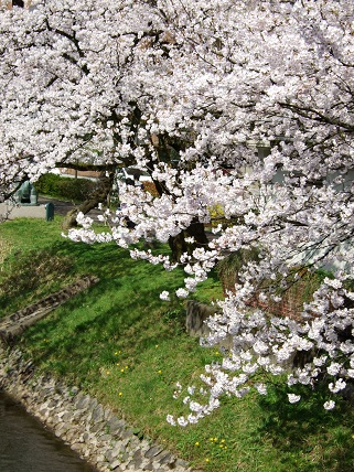 Cherryblossoms2012_002