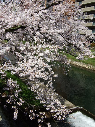 Cherryblossoms2012_003