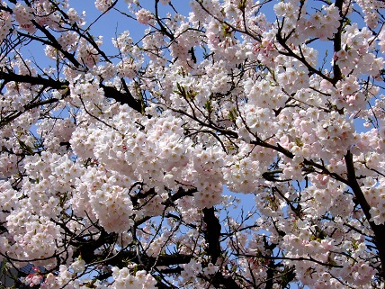 Cherryblossoms2012_004