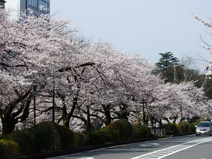 Cherryblossoms2012_005