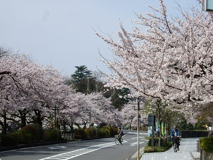 Cherryblossoms2012_006
