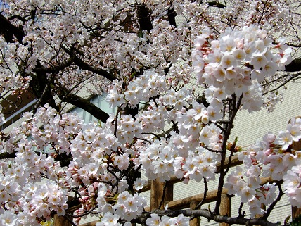 Cherryblossoms2012_008