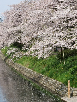 Cherryblossoms2012_010