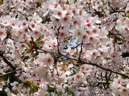 Cherryblossoms2012_011