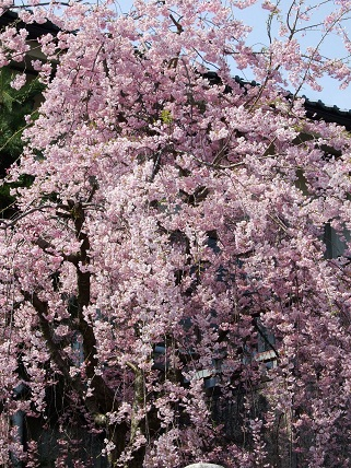 Cherryblossoms2012_013