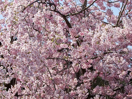 Cherryblossoms2012_014