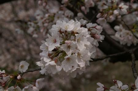 0328sakura_1.jpg