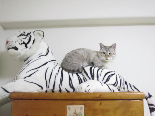 ホワイトタイガーの上で寝るめのう