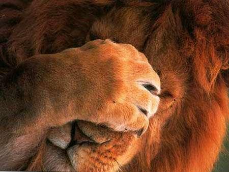 やっちまったライオン