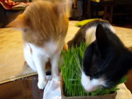 猫草かぶりつき1
