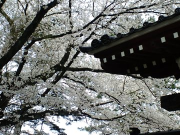 如来寺の桜