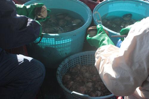 大洗漁港 ホッキ貝