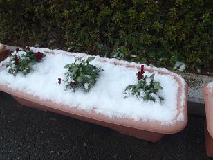 ビオラに雪