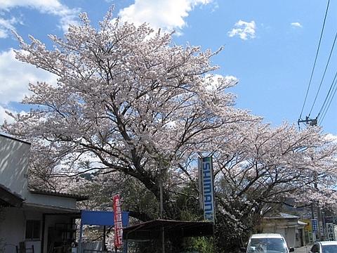 ドライブインの桜_R