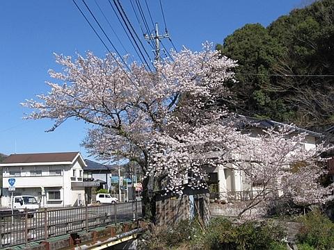 湯ヶ島の桜_R